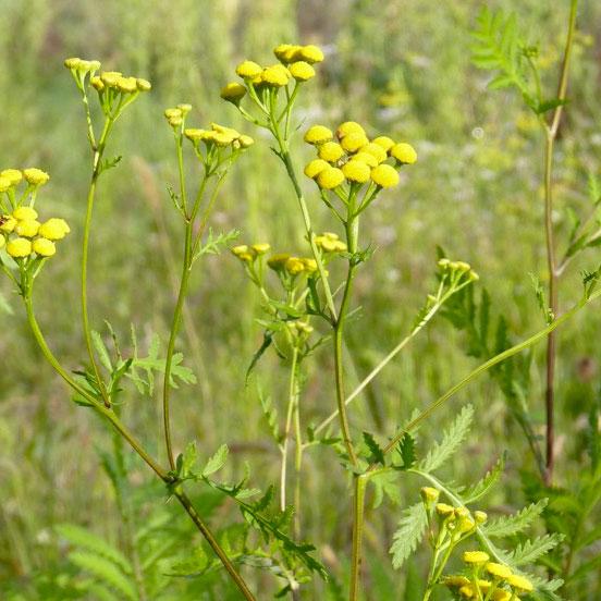 Plants de tanaisie annuelle