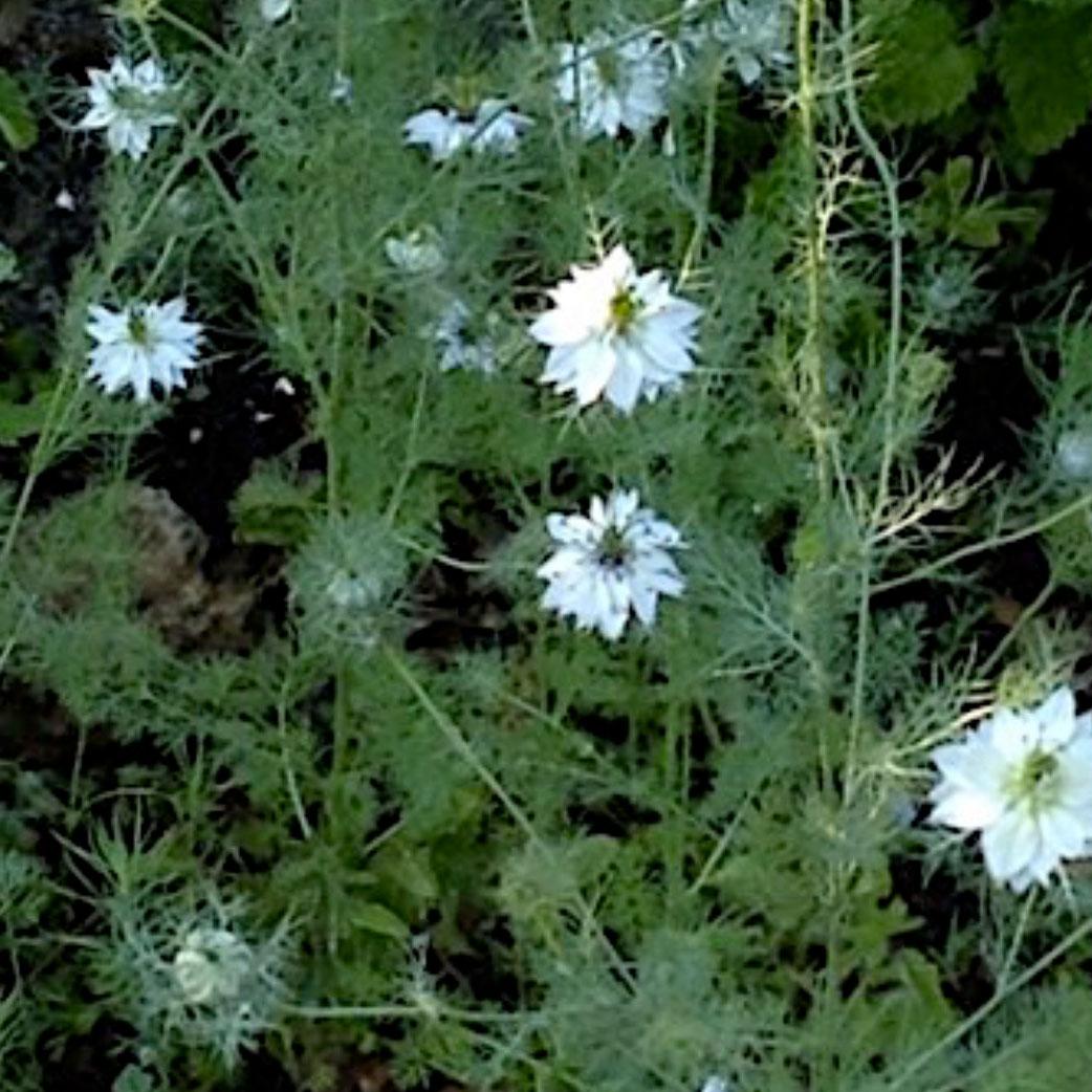 Plants de cumin noir en fleur