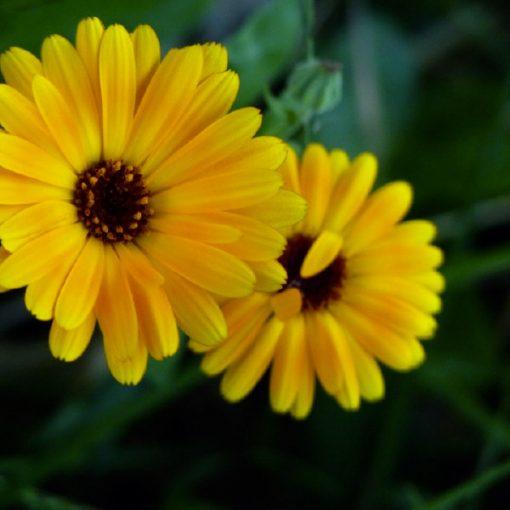 Fleurs de soucis officinal